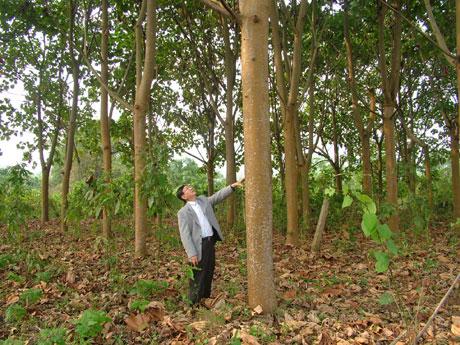 4年生轻木树高达17米,直径35厘米