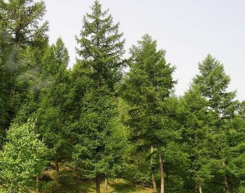 落叶松属的落叶乔木,是我国东北